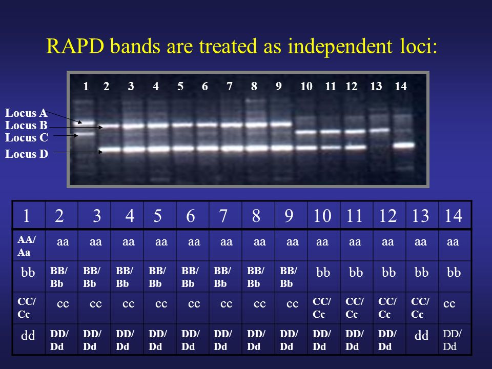 RAPD bands are treated as independent loci: