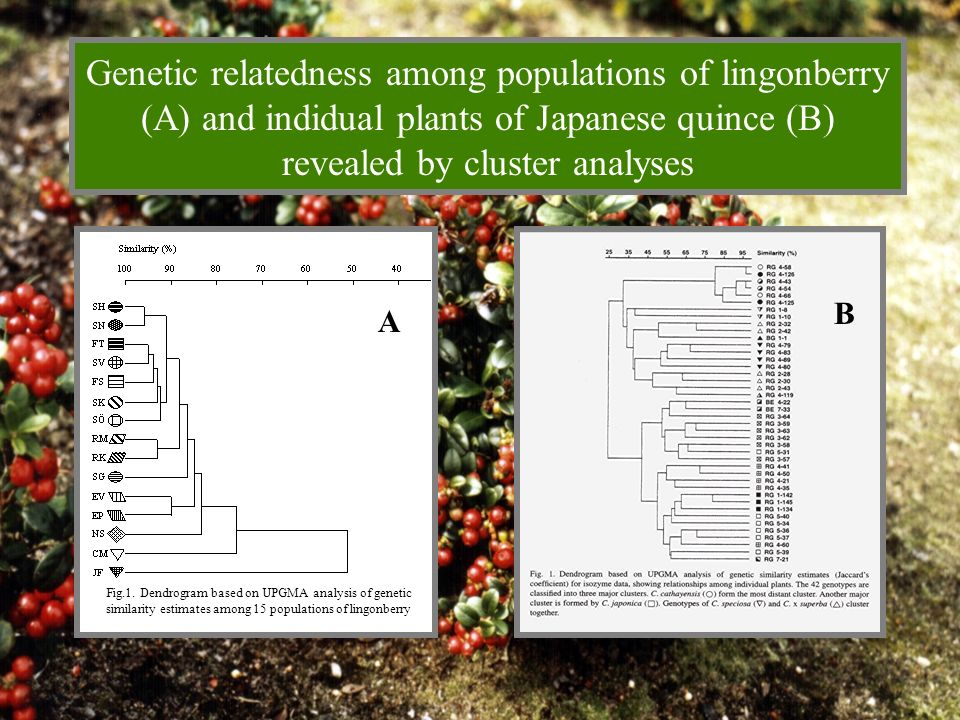 Genetic relatedness among populations of lingonberry (A) and indidual plants of Japanese quince (B) revealed by cluster analyses