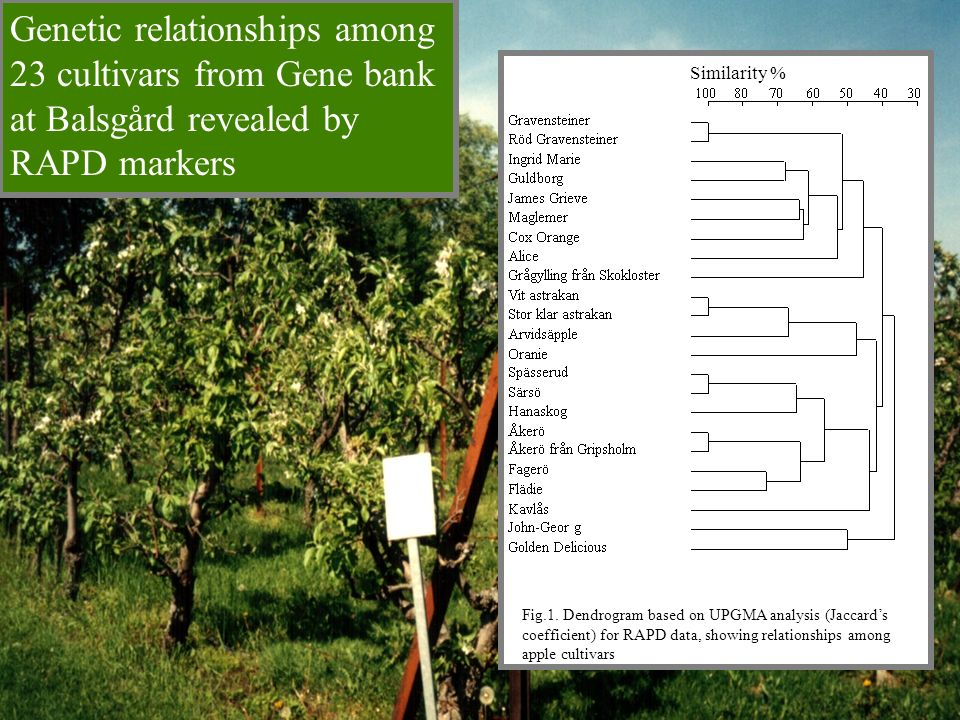 Genetic relationships among 23 cultivars from Gene bank at Balsgård revealed by RAPD markers