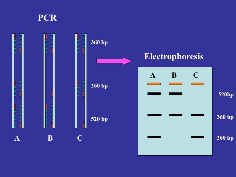 PCR Electrophoresis A B C A B C 360 bp 260 bp 520bp 360 bp 520 bp