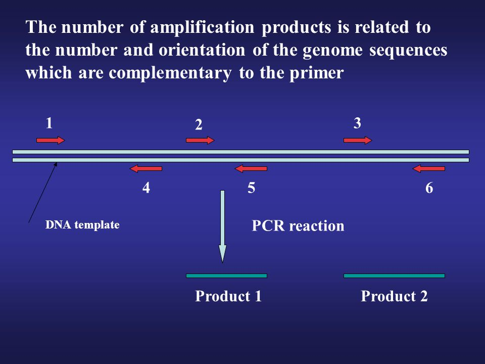 The number of amplification products is related to the number and orientation of the genome sequences which are complementary to the primer