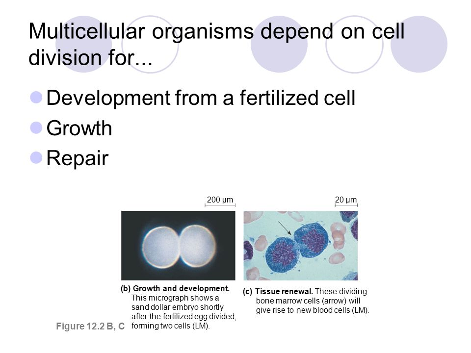 Chapter 12 The Cell Cycle. - ppt download