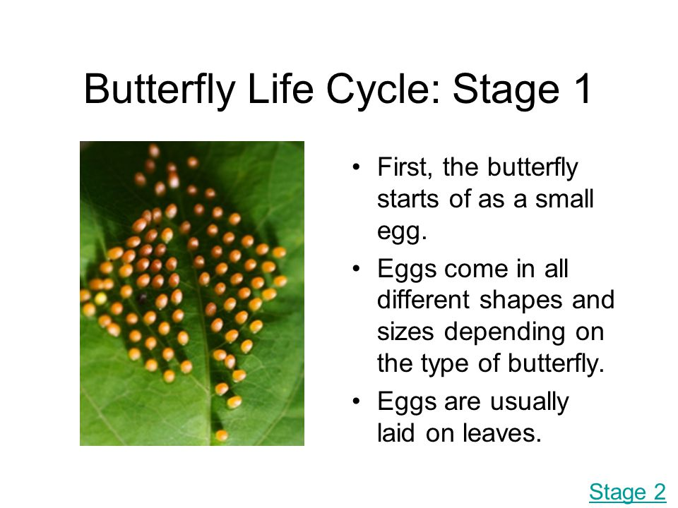 Butterfly Life Cycle: Stage 1