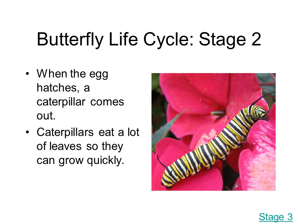 Butterfly Life Cycle: Stage 2
