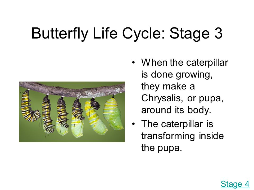 Butterfly Life Cycle: Stage 3