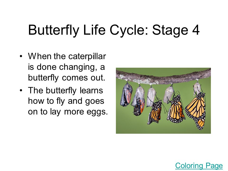 Butterfly Life Cycle: Stage 4