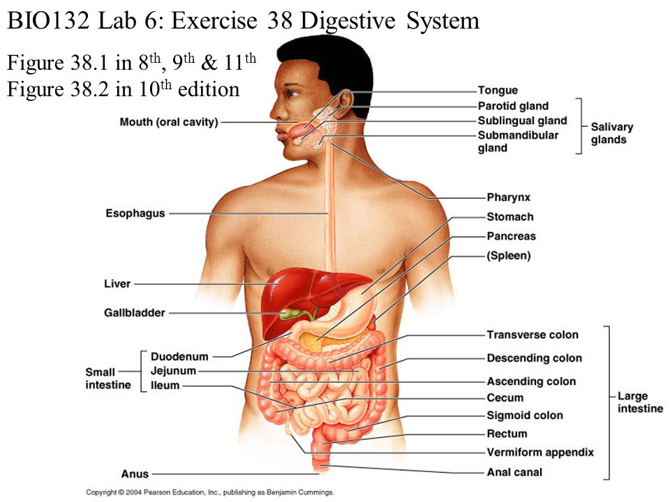 BIO132 Lab 6: Exercise 38 Digestive System - ppt video online download