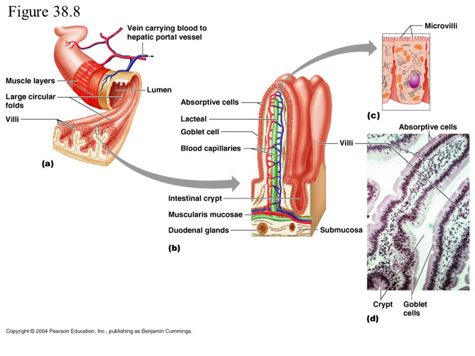Bio132 Lab 6 Exercise 38 Digestive System Ppt Video Online Download
