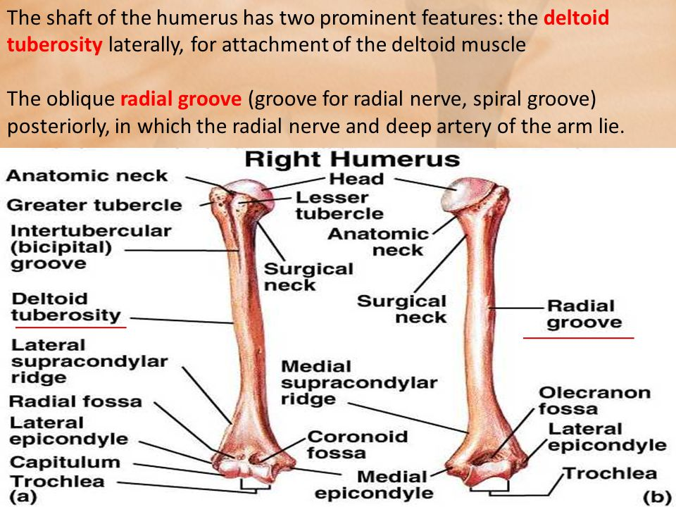joints of the upper limb - ppt video online download, Human Body