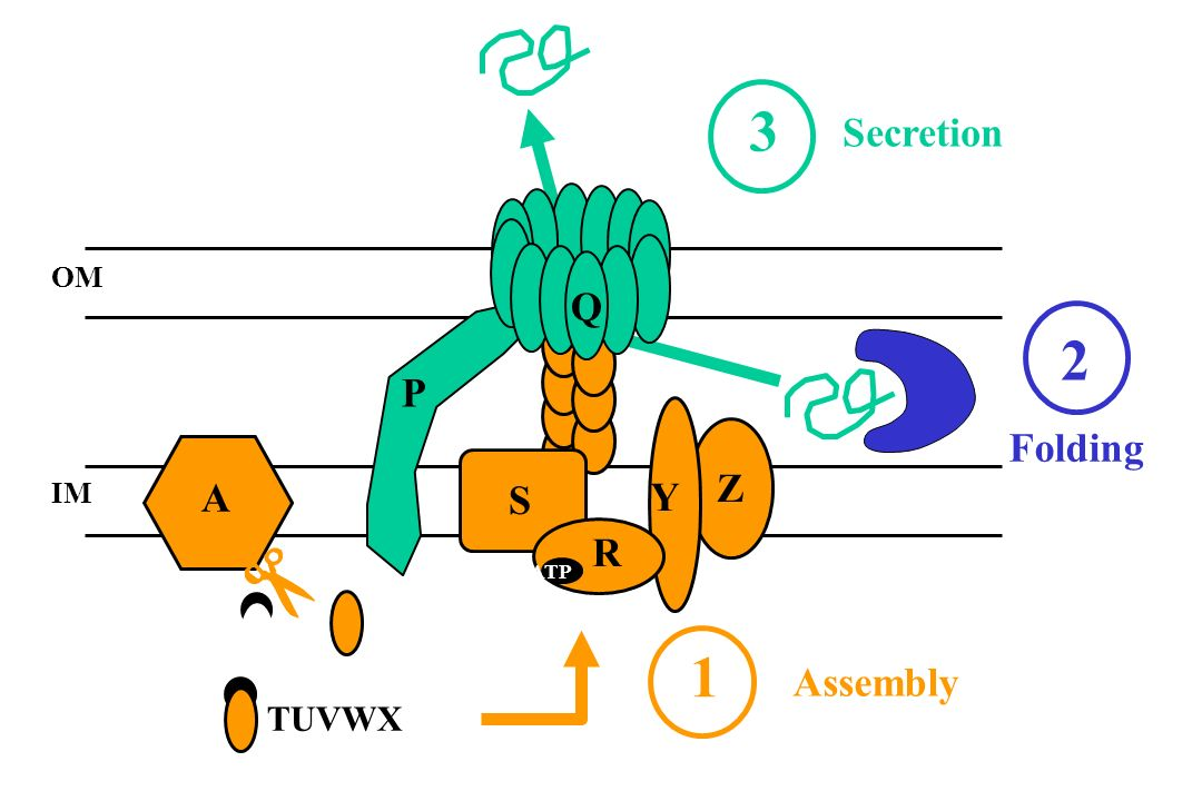 3 Secretion OM Q 2 P Folding Z IM A S Y R ATP 1 Assembly TUVWX