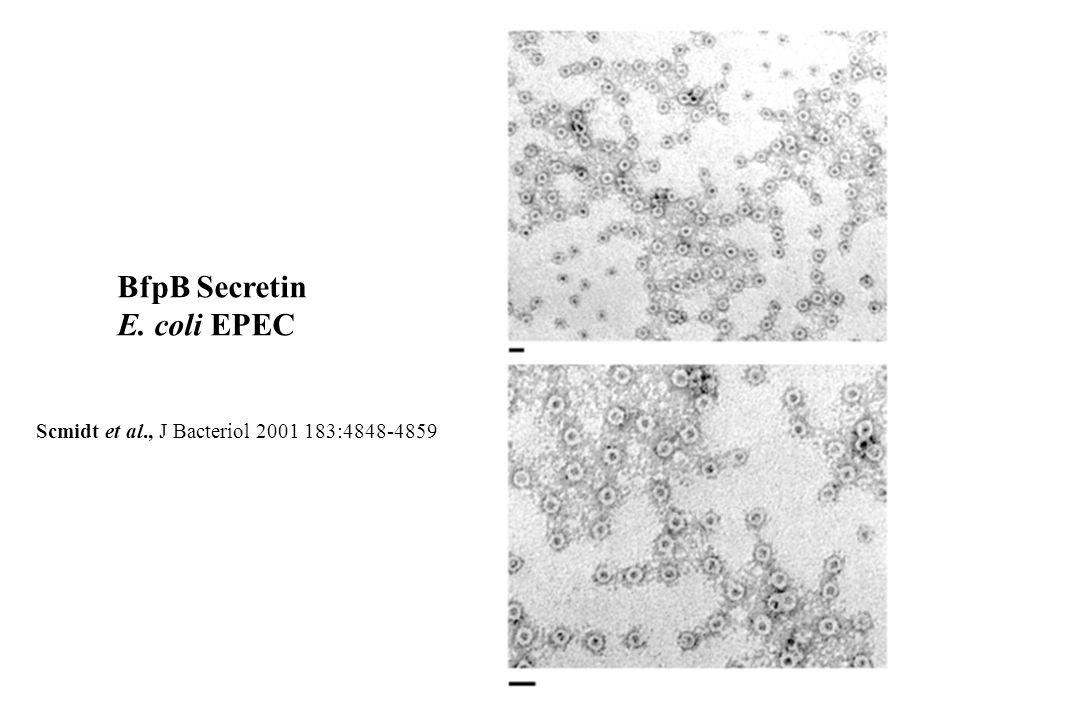BfpB Secretin E. coli EPEC
