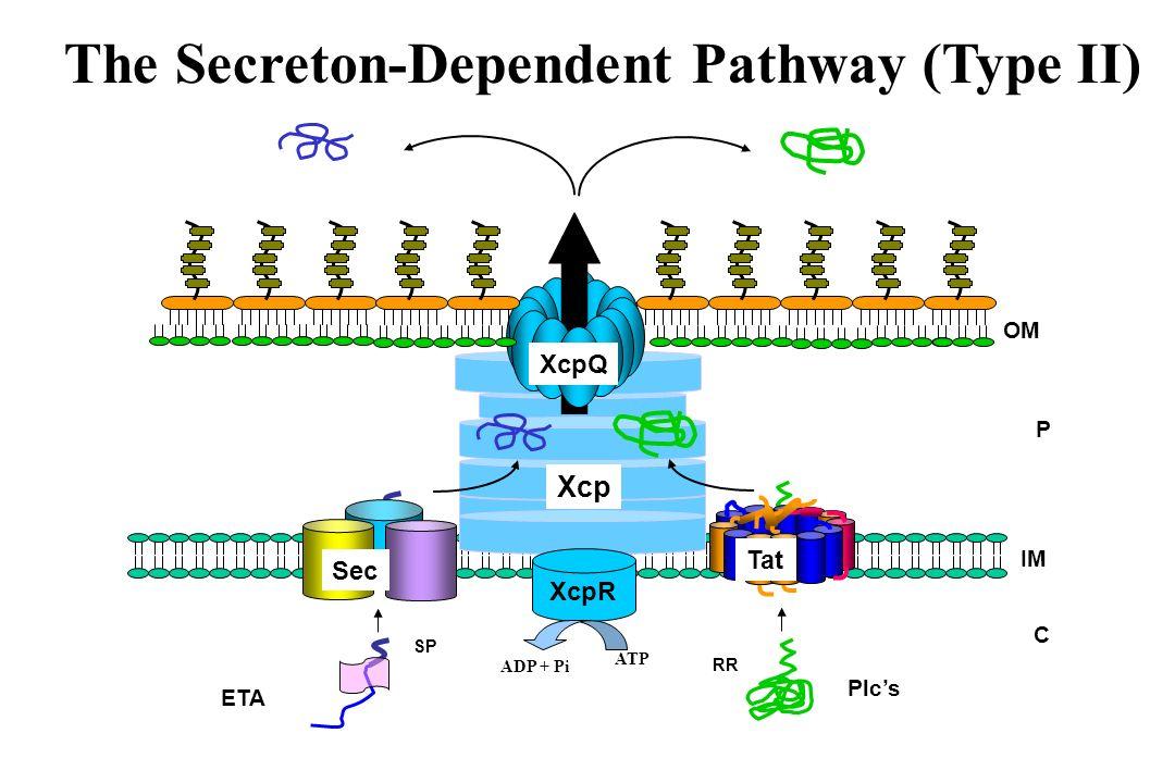 The Secreton-Dependent Pathway (Type II)