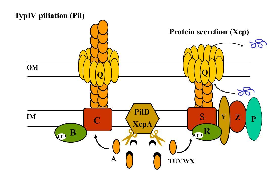 S C R B TypIV piliation (Pil) Protein secretion (Xcp) Q Q PilD Z P