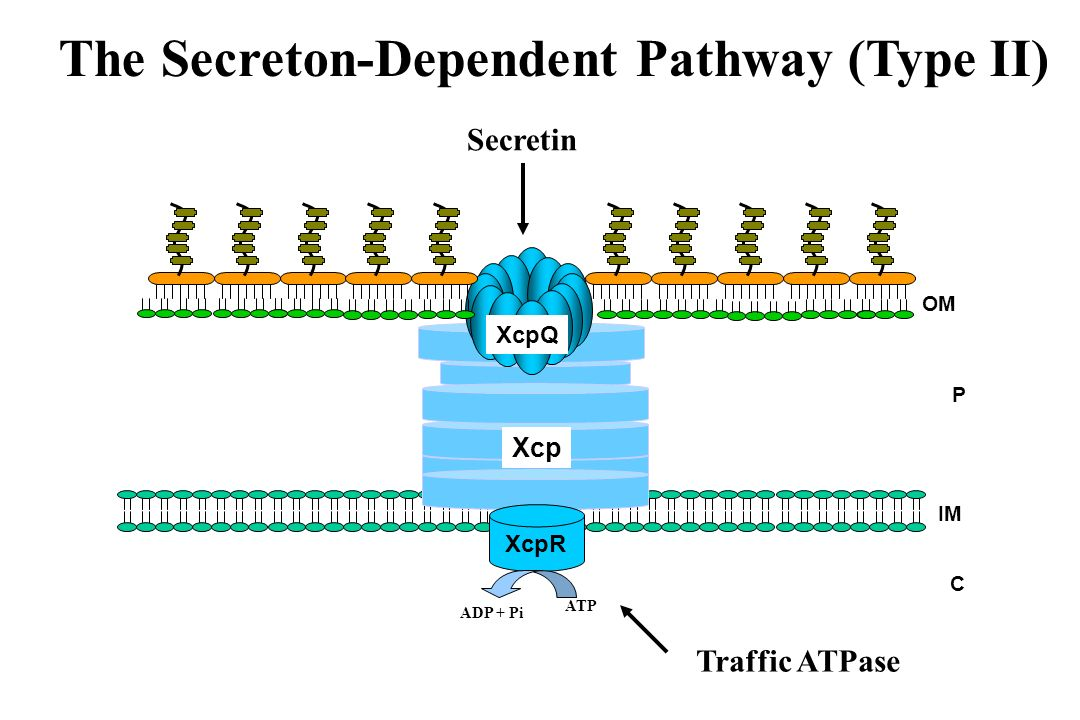 The Secreton-Dependent Pathway (Type II)