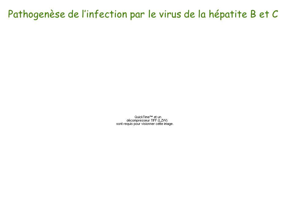 Pathogenèse de l'infection par le virus de la hépatite B et C