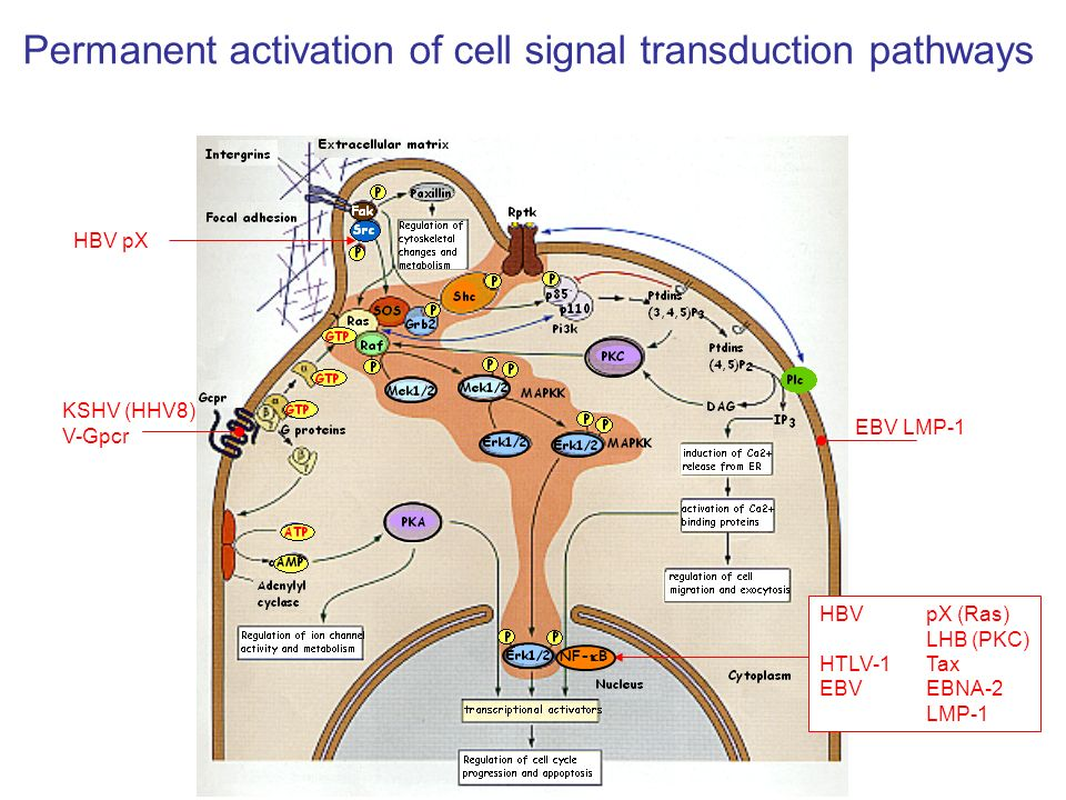 Permanent activation of cell signal transduction pathways