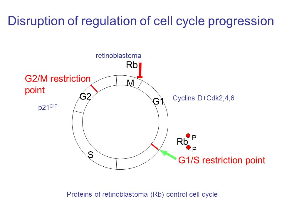 Disruption of regulation of cell cycle progression