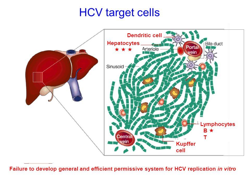 HCV target cells Dendritic cell Hepatocytes    Lymphocytes B  T