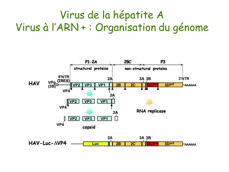 Virus à l'ARN + : Organisation du génome