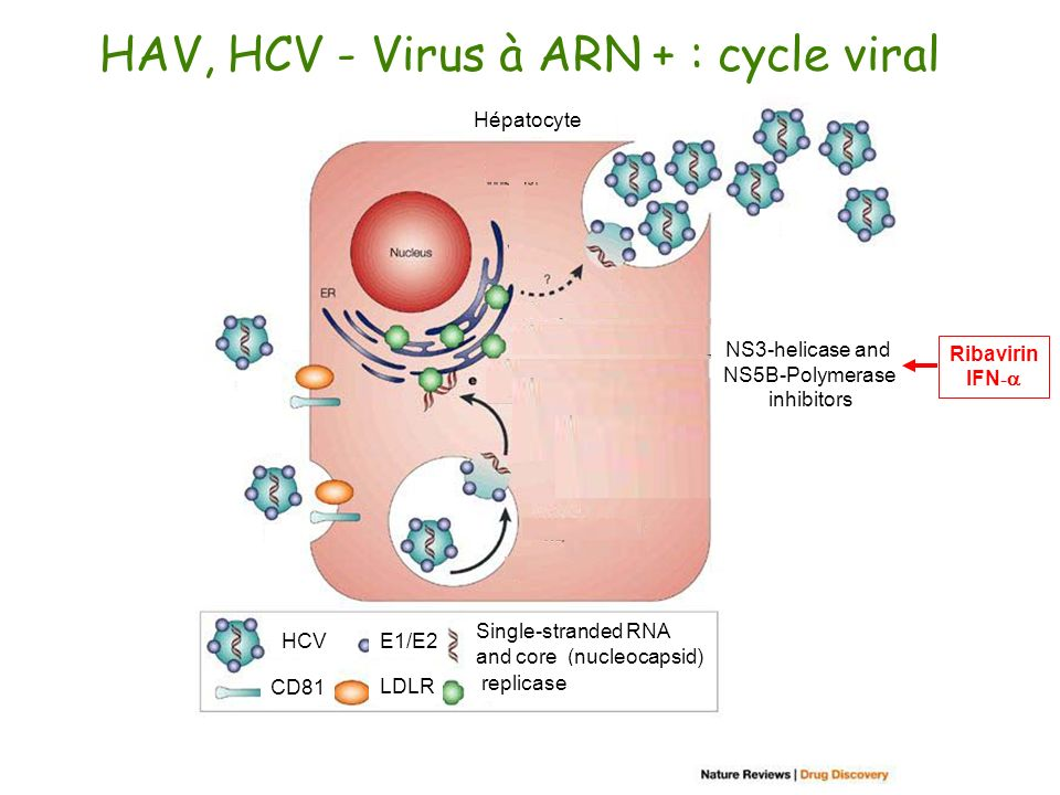 HAV, HCV - Virus à ARN + : cycle viral