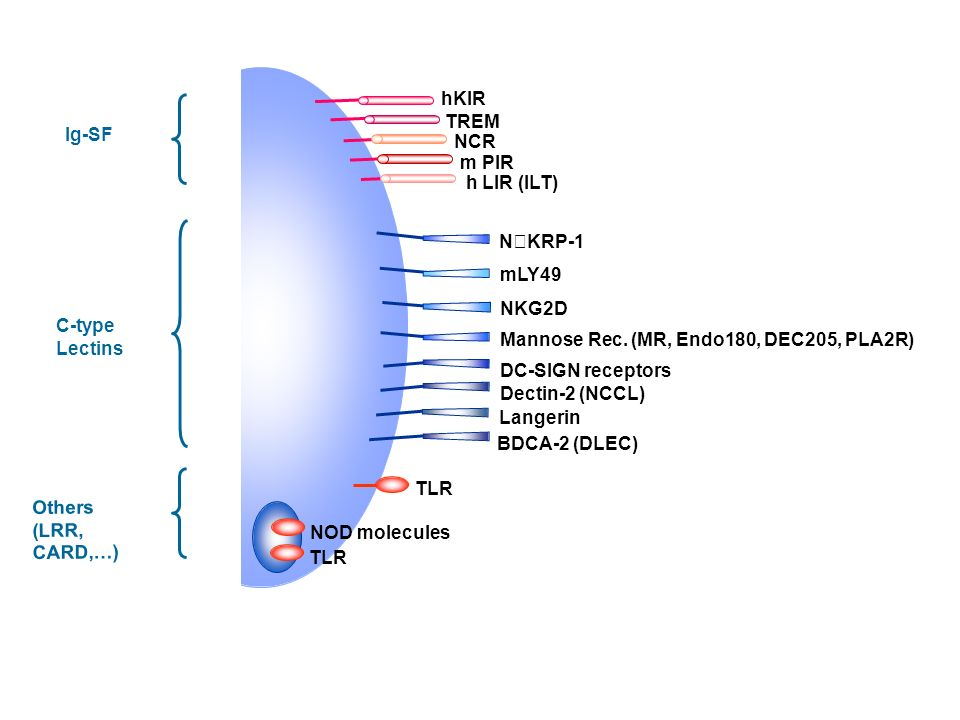 hKIR TREM. Ig-SF. NCR. m PIR. h LIR (ILT) NKRP-1. mLY49. NKG2D. C-type. Lectins. Mannose Rec. (MR, Endo180, DEC205, PLA2R)
