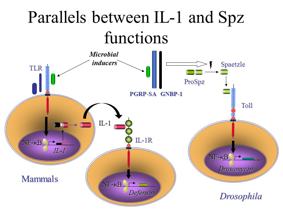 Parallels between IL-1 and Spz functions