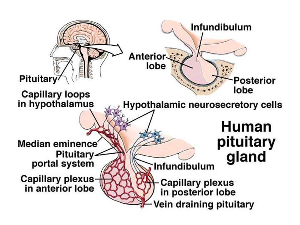 Pituitary gland is a small and some what oval gland with about 1cm