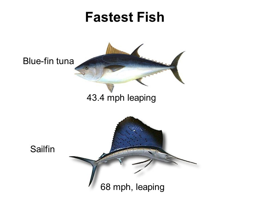 008b fish morphology ppt download for Blue fin fish