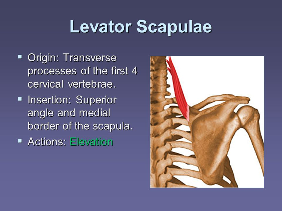 the scapula transverse and spinous processes Vertebrae: note the following about the vertabrae from different regions is ring  shaped has no body nor spinous process has lateral masses instead superior .