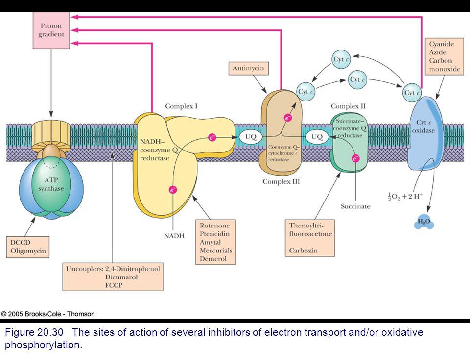 Electron Transport Chain Oxidative Phosphorylation Ppt ...