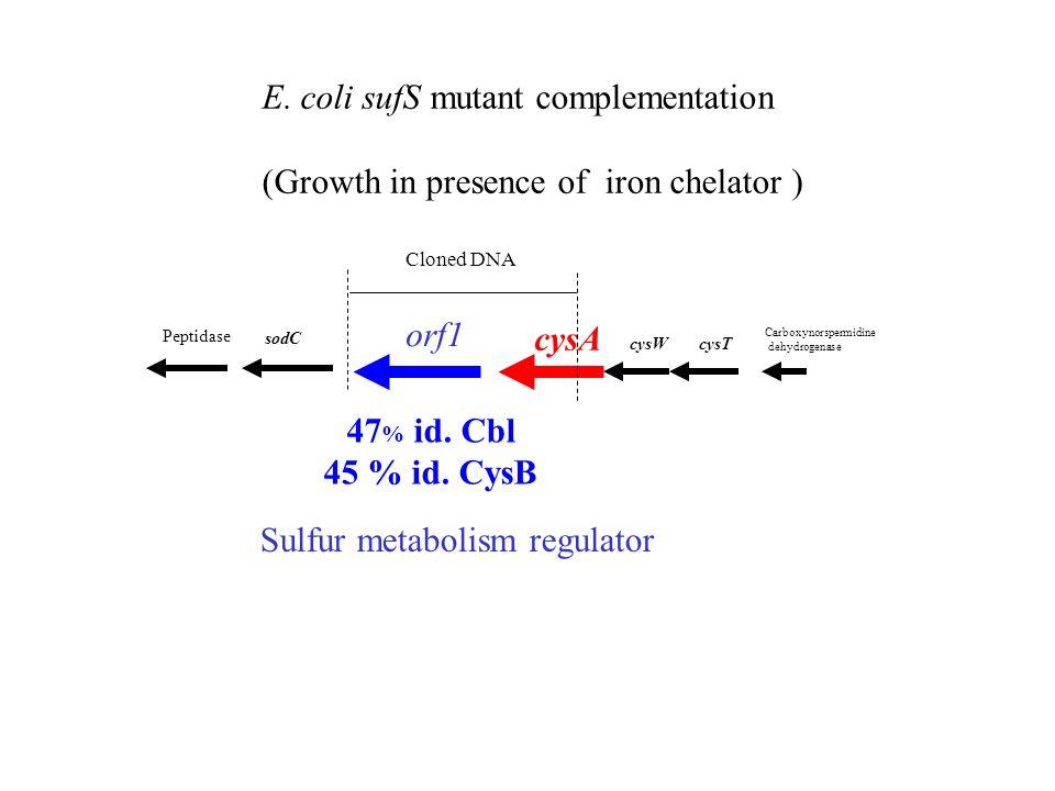 E. coli sufS mutant complementation