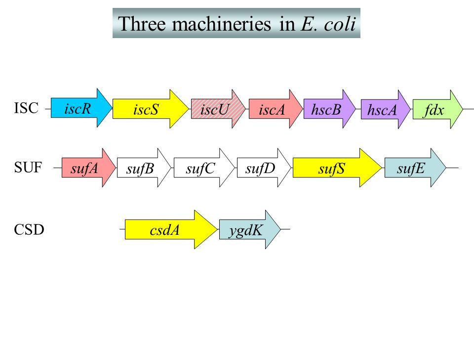 Three machineries in E. coli