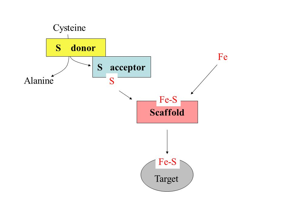 Cysteine S donor Fe S acceptor Alanine S Fe-S Scaffold Fe-S Target