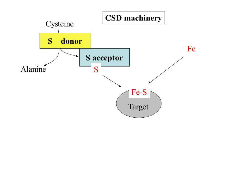 CSD machinery Cysteine S donor Fe S acceptor Alanine S Fe-S Target