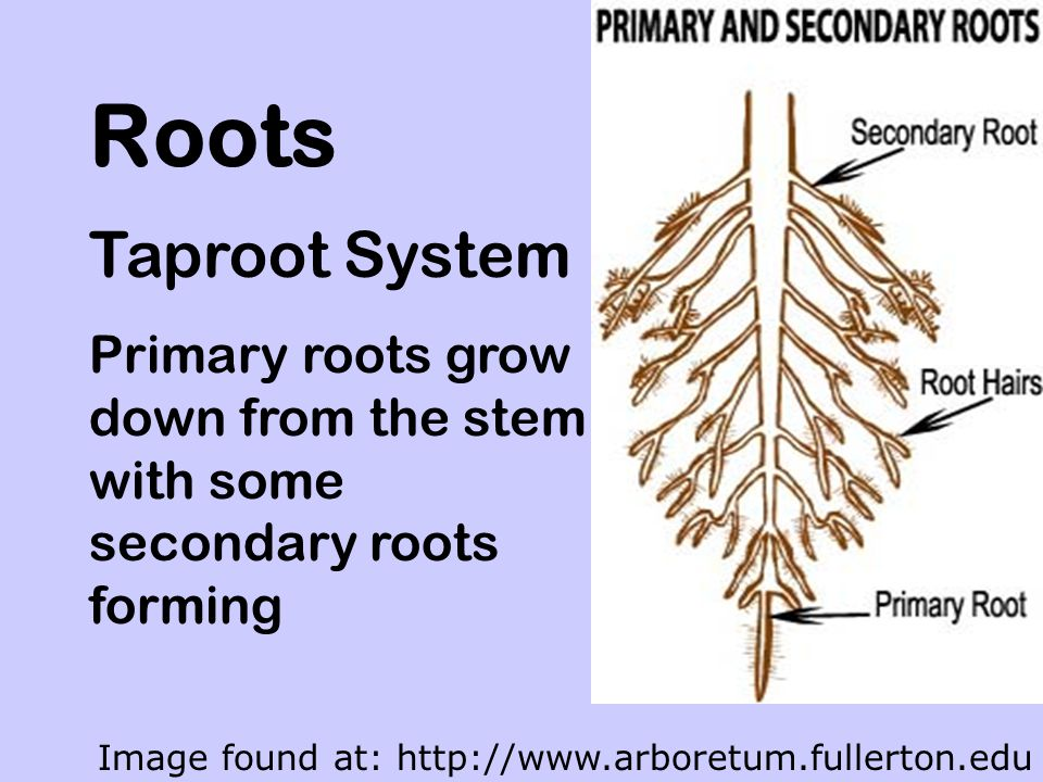 Roots That Store Food