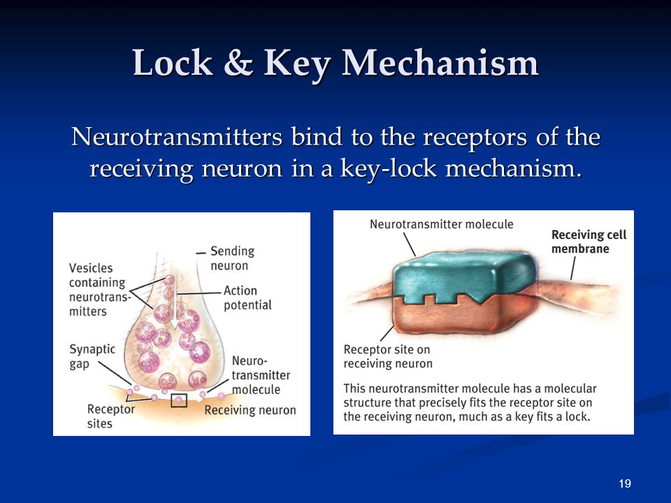 Neuroscience And Behavior Ppt Download