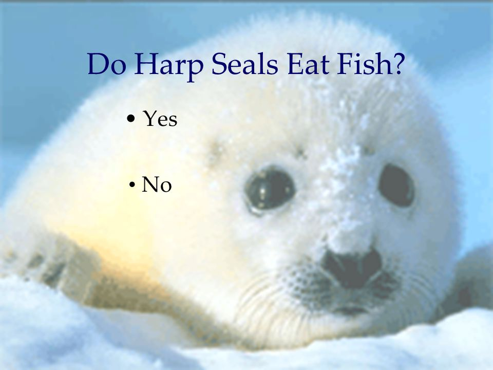 Harp seals by kim mishra ppt download for What do fish eat