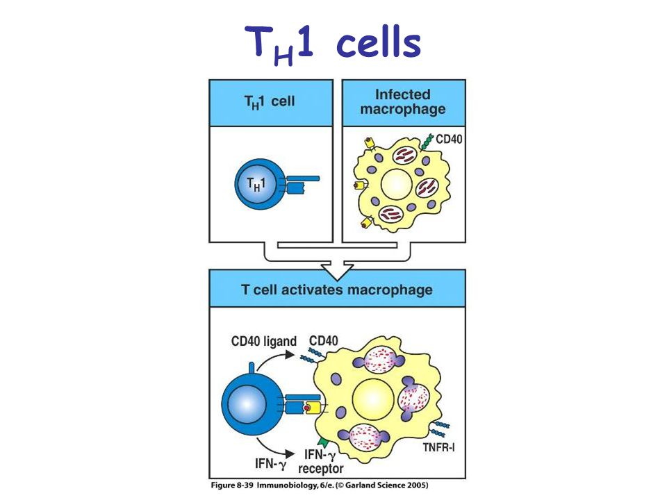 TH1 cells