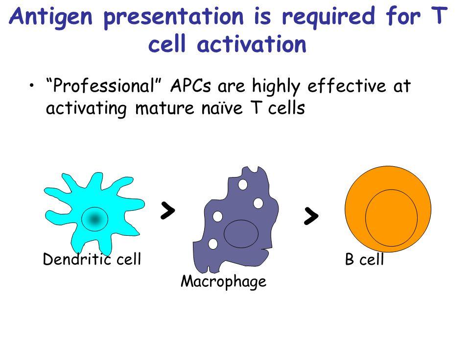 Antigen presentation is required for T cell activation