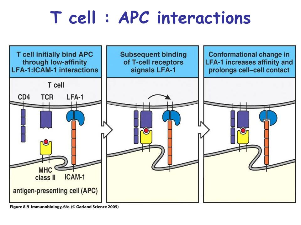T cell : APC interactions