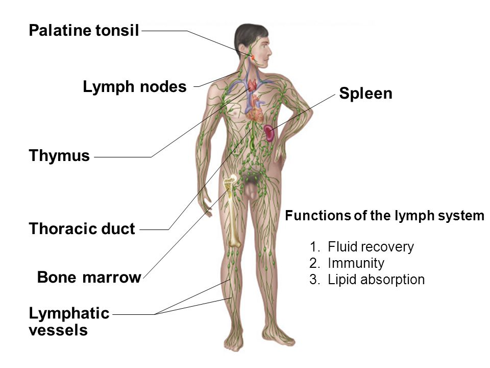 Tolle Anatomy And Physiology Lymphatic System Quiz Bilder ...