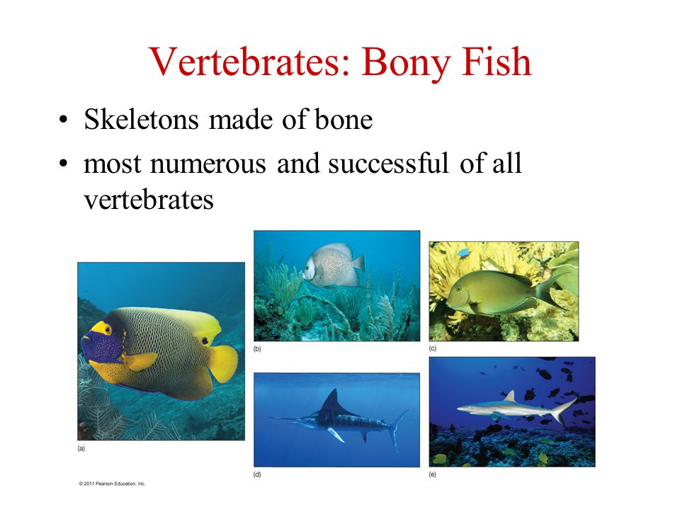 Nekton strong swimmers in the pelagic realm ppt video for Types of bony fish