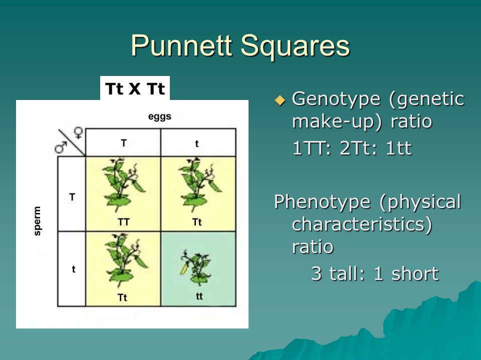 Punnett Squares Genotype (genetic make-up) ratio 1TT: 2Tt: 1tt