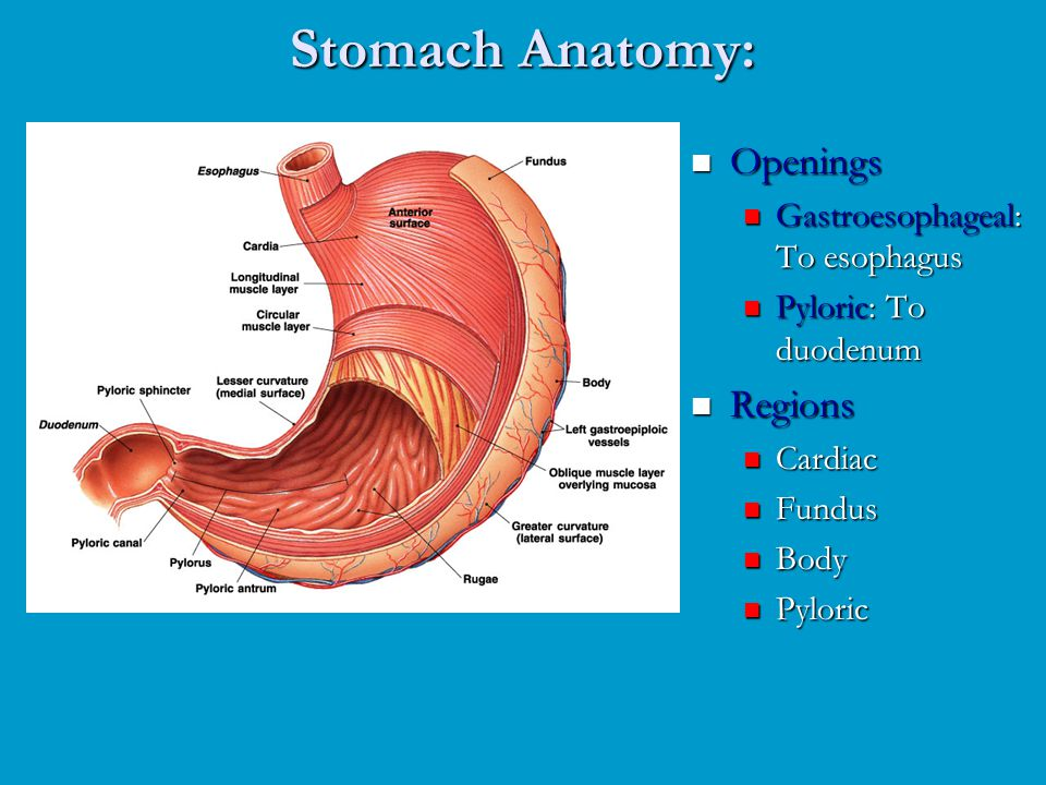 Stomach Anatomy Choice Image - human anatomy organs diagram
