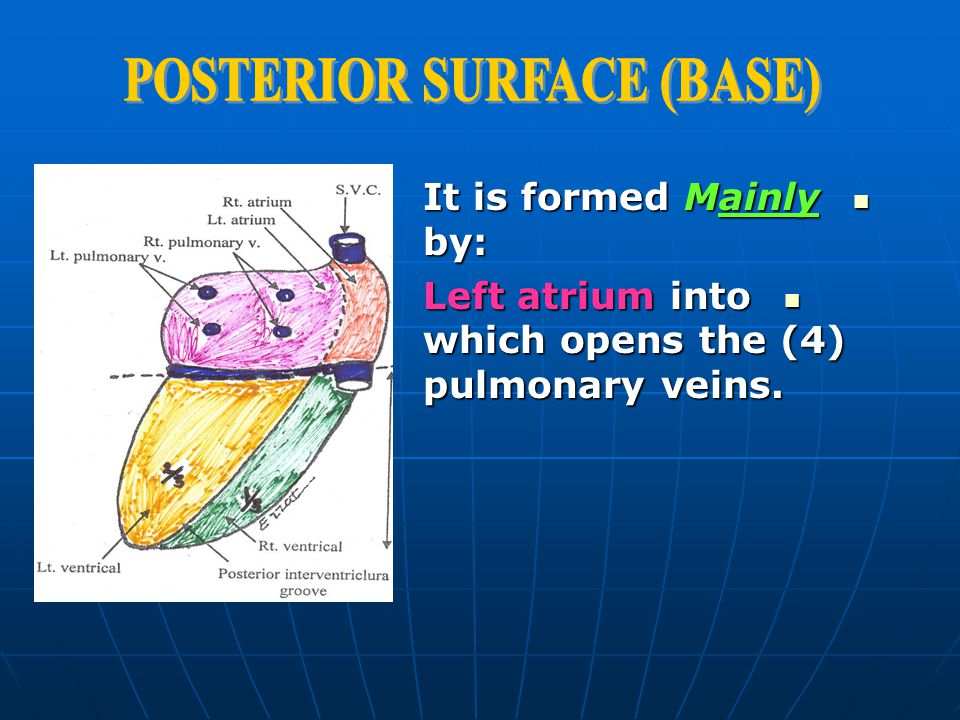POSTERIOR SURFACE (BASE)