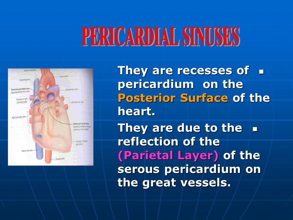 PERICARDIAL SINUSES They are recesses of pericardium on the Posterior Surface of the heart.