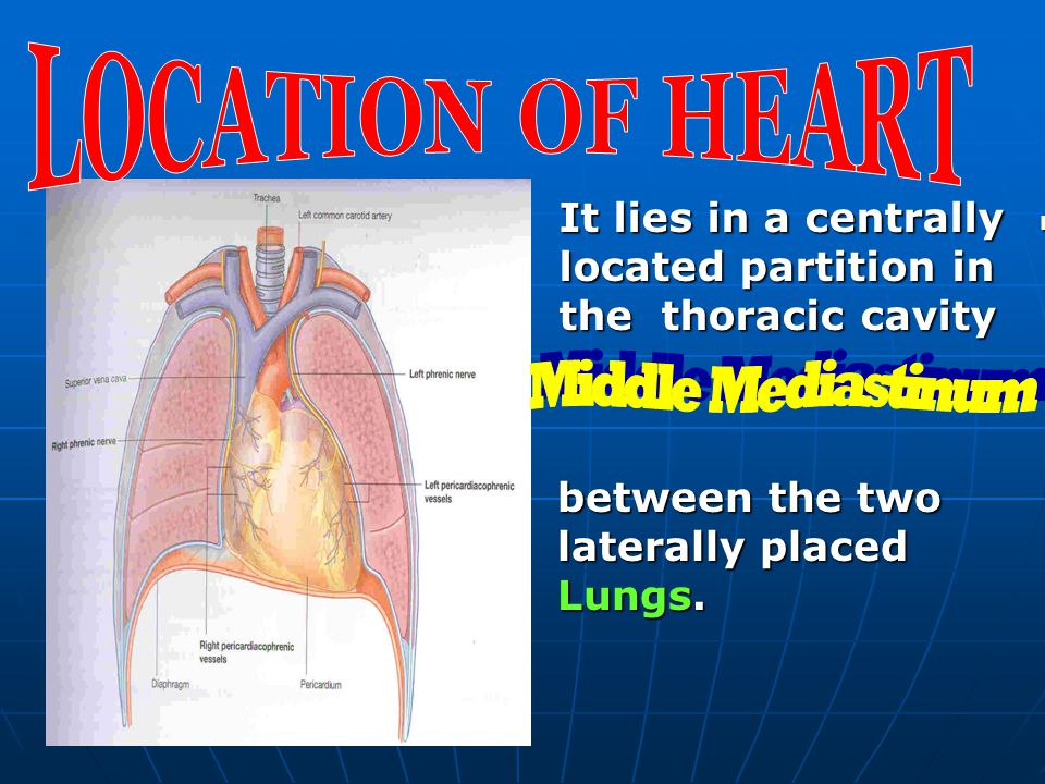 LOCATION OF HEART It lies in a centrally located partition in the thoracic cavity. Middle Mediastinum.
