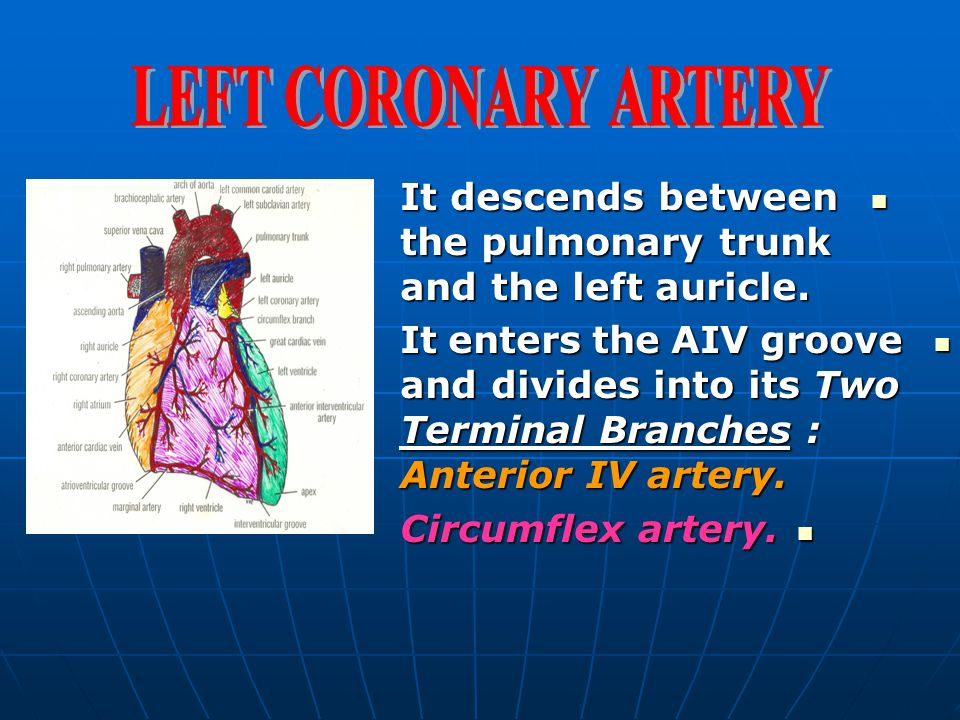 LEFT CORONARY ARTERY It descends between the pulmonary trunk and the left auricle.