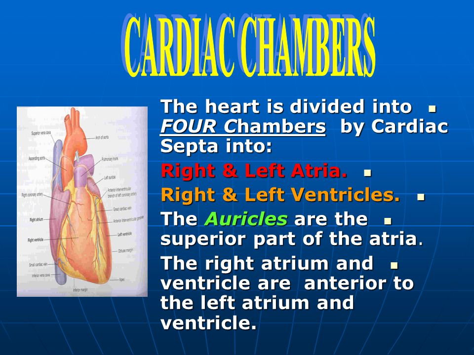 CARDIAC CHAMBERS The heart is divided into FOUR Chambers by Cardiac Septa into: Right & Left Atria.