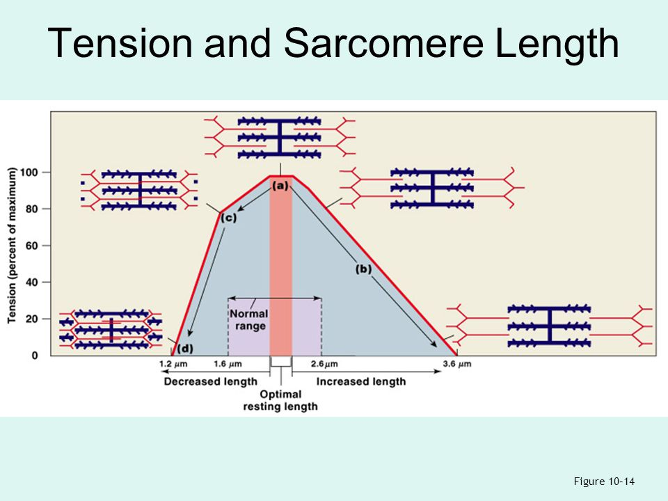 length tension relationship sarcomere picture